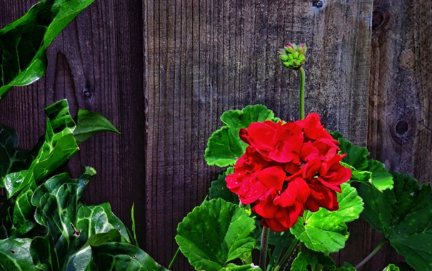 Фото обои листья, стебли, доски, забор, зеленые, красная, герань