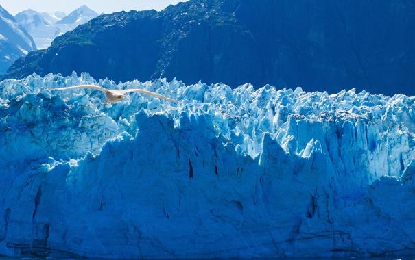 Фото обои птица, чайка, ледник, Аляска, Alaska, Glacier Bay National Park, Глейшер Бей
