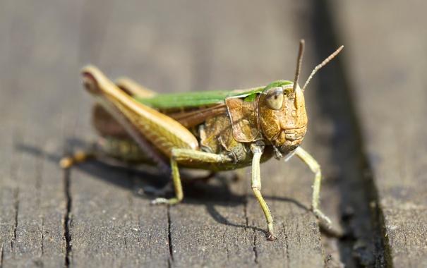 Фото обои природа, насекомое, кузнечик