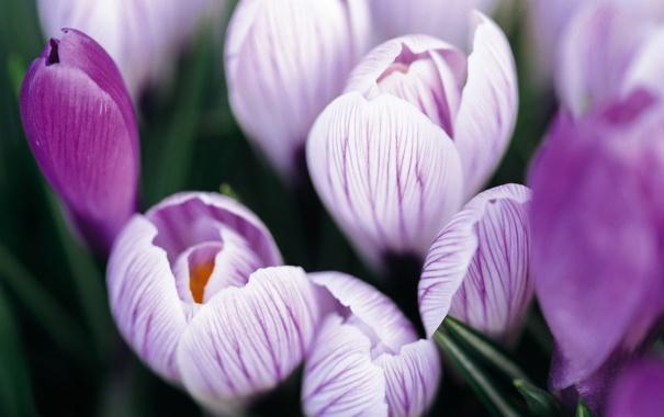 Фото обои макро, цветы, фиолетовые, крокусы, сиреневые