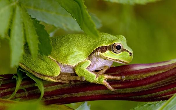 Фото обои лягушка, лапы, зелёная, присоски