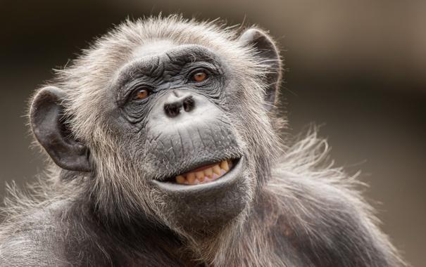 Фото обои природа, фон, Chimpanzee