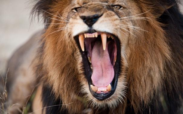 Фото обои lion, head, fury, teeth