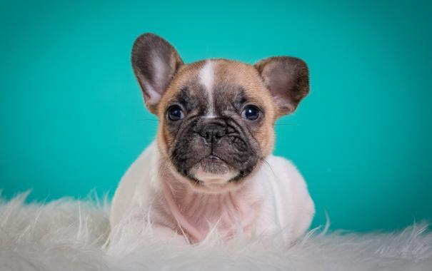 Фото обои портрет, мордочка, милый, щенок, французский бульдог