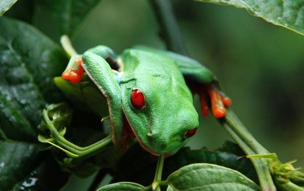 Фото обои глаза, листья, лягушка, красные, зеленая