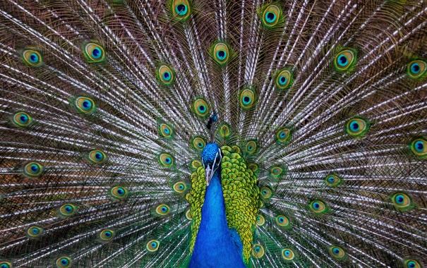 Фото обои птица, узоры, перья, хвост, павлин