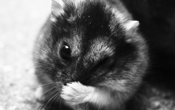 Фото обои макро, черно-белый, хомяк, бурундук