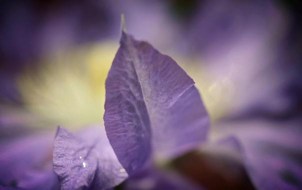 Фото обои цветок, природа, сиреневый, растение, лепесток, клематис