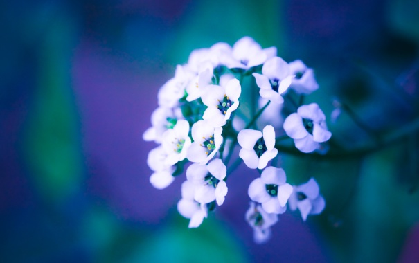Фото обои цветок, ветка, лепестки, размытость, белые