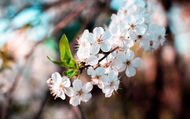 Фото обои цветы, ветка, весна, бутон, лепесток, цветение