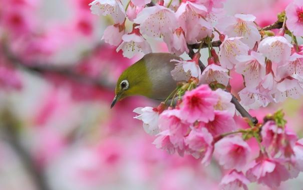 Фото обои вишня, птица, ветка, весна, сакура, цветение, цветки