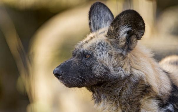 Фото обои взгляд, собака, хищник, ©Tambako The Jaguar, Гиеновидная