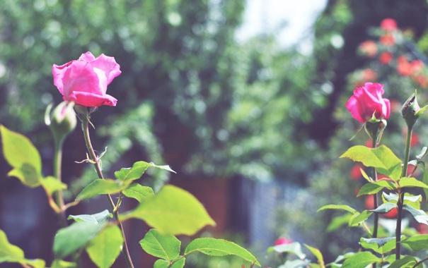 Фото обои роза, цветок, лепестки, бутон, куст