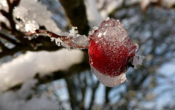 Фото обои холод, лед, зима, иней, ветка, ягода, красная