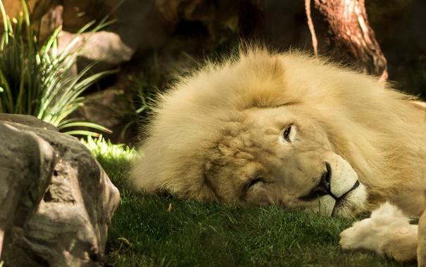 Фото обои лев, грива, царь зверей