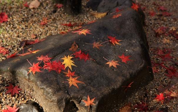 Фото обои осень, листья, камень, желтые, красные, кленовые