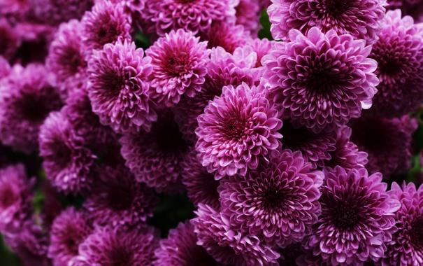 Фото обои куст, розовые, хризантемы, много
