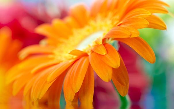 Фото обои макро, желтый, yellow, красивый, beautiful, Close Up, daisy-gerbera
