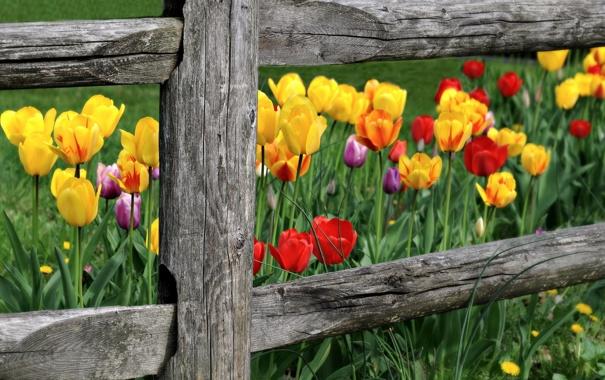 Фото обои цветы, природа, забор, тюльпаны