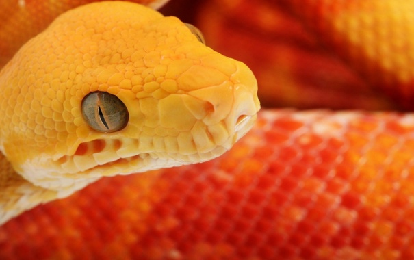 Фото обои Snake, head, flakes