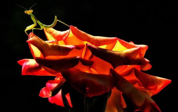 Фото обои rose, insect, praying mantis
