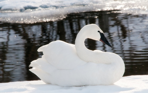 Фото обои зима, вода, снег, лёд, размытость, белый лебедь