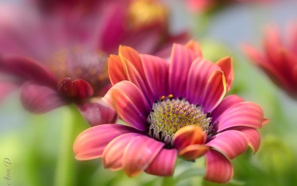 Фото обои природа, макро, цветы