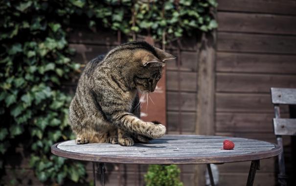Фото обои кошка, кот, малина, лапа, раскраска, столик