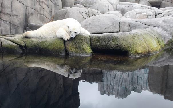 Фото обои белый, вода, пруд, камни, медведь, спит