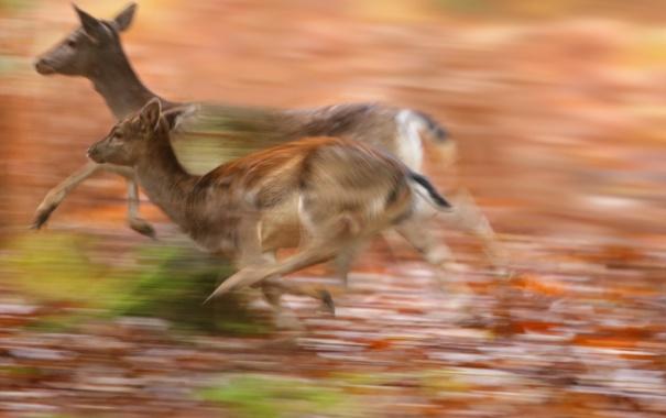 Фото обои природа, бег, косули