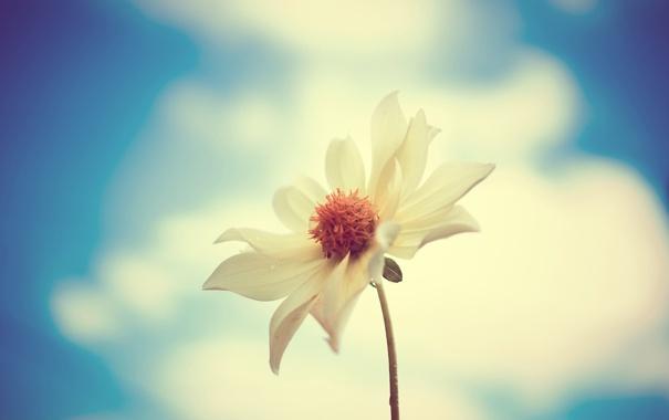 Фото обои белый, цветок, макро, фото
