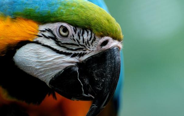 Фото обои взгляд, крупный план, перья, клюв, попугай, ара