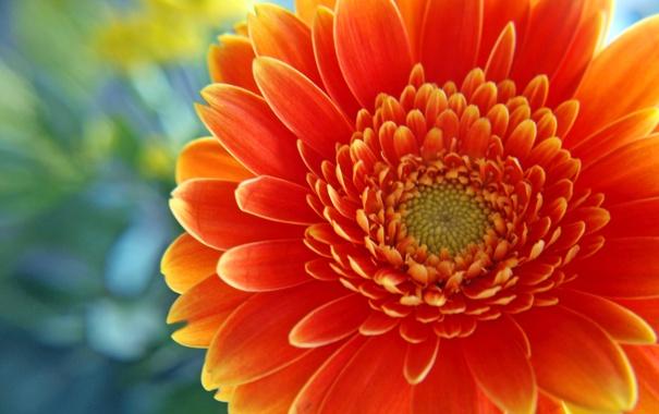 Фото обои Flowers, яркооранж, центряк