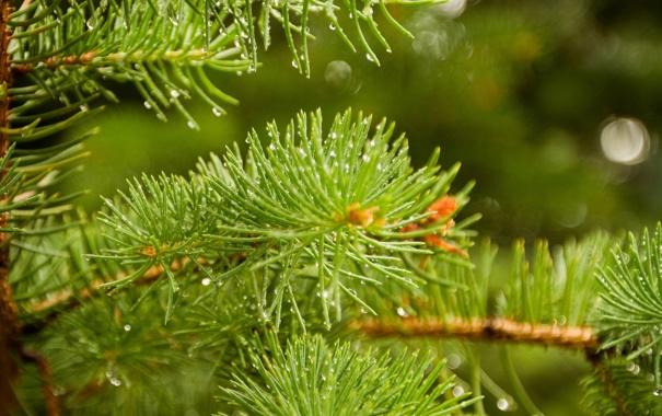 Фото обои капли, свет, иголки, ветки, блики, ель, зеленые