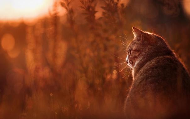 Фото обои кошка, животные, лето, трава, кот, природа