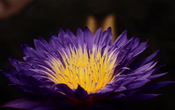 Фото обои цветок, фиолетовый, макро, лилия