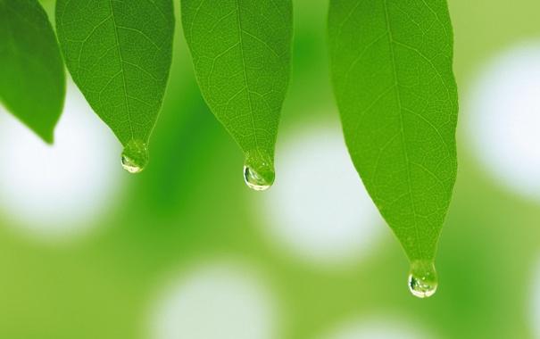 Фото обои зелень, листья, капли, макро, листок, растения, весна