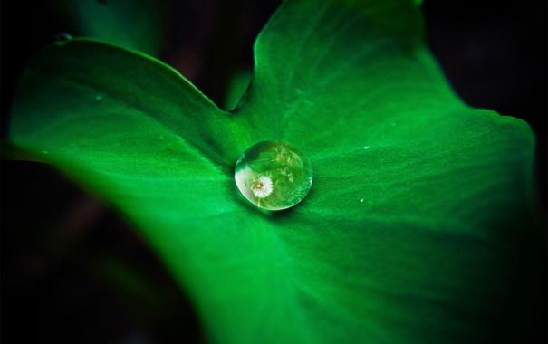Фото обои одуванчик, роса, капля, зелень, отражение, лист