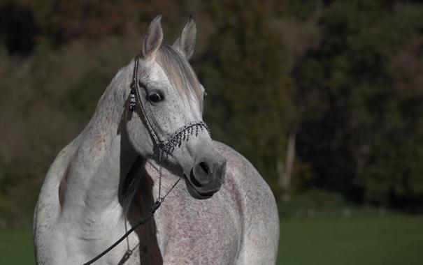 Фото обои морда, серый, конь, лошадь, чёлка, (с) OliverSeitz
