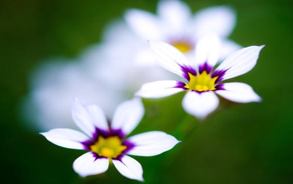 Фото обои макро, цветы, белые