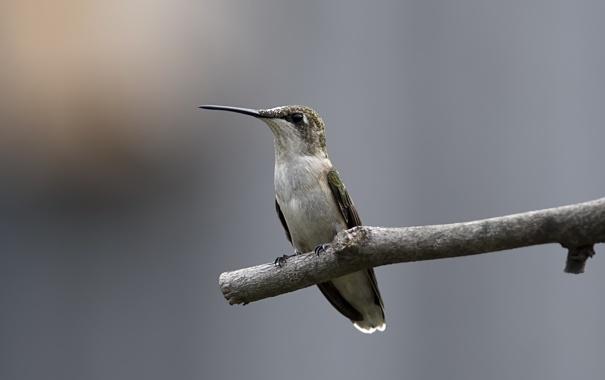 Фото обои птица, ветка, колибри, палка
