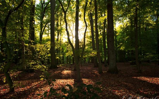 Фото обои лес, лучи, деревья, листва, солнечные
