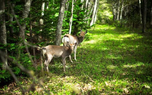 Фото обои лес, природа, косули