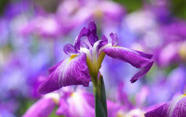 Фото обои цветы, цветение, ирис