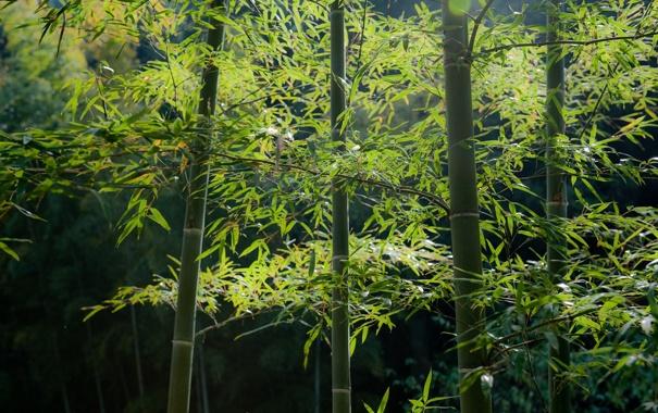 Фото обои зелень, лес, бамбук