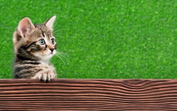 Фото обои кошка, кот, взгляд, морда, лапа, когти, котёнок