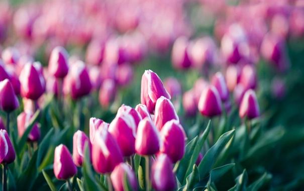 Фото обои цветы, розовый, тюльпаны, лиловый, поле цветов