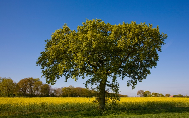 Фото обои поле, природа, дерево, дуб, рапс