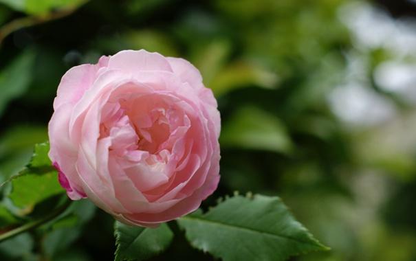 Фото обои зелень, цветок, листья, природа, розовая, роза, куст