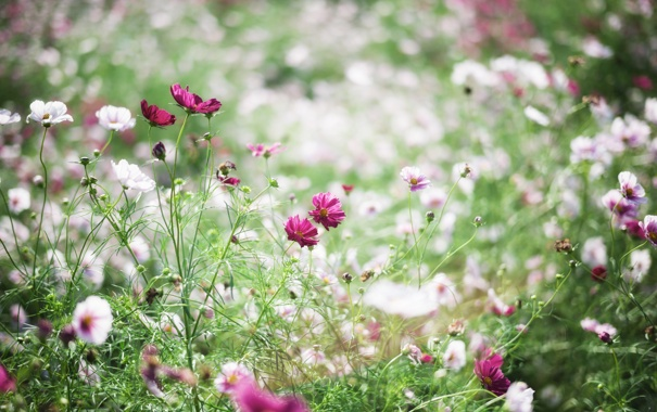 Фото обои трава, цветы, лепестки, белые